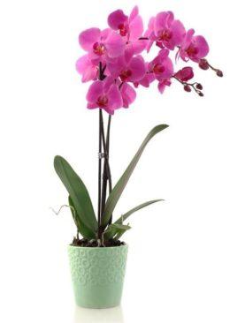Orquídeas Colombianas para Mamá